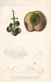 Ripe Rot Of Grapes And Apples