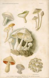 Eight Edible mushrooms Common To The United States