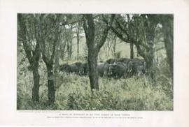 A Herd Of Elephant In An Open Forest Of High Timber