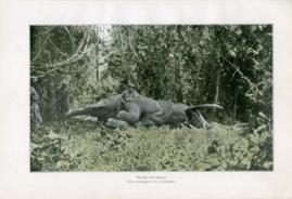 The First Bull Elephant